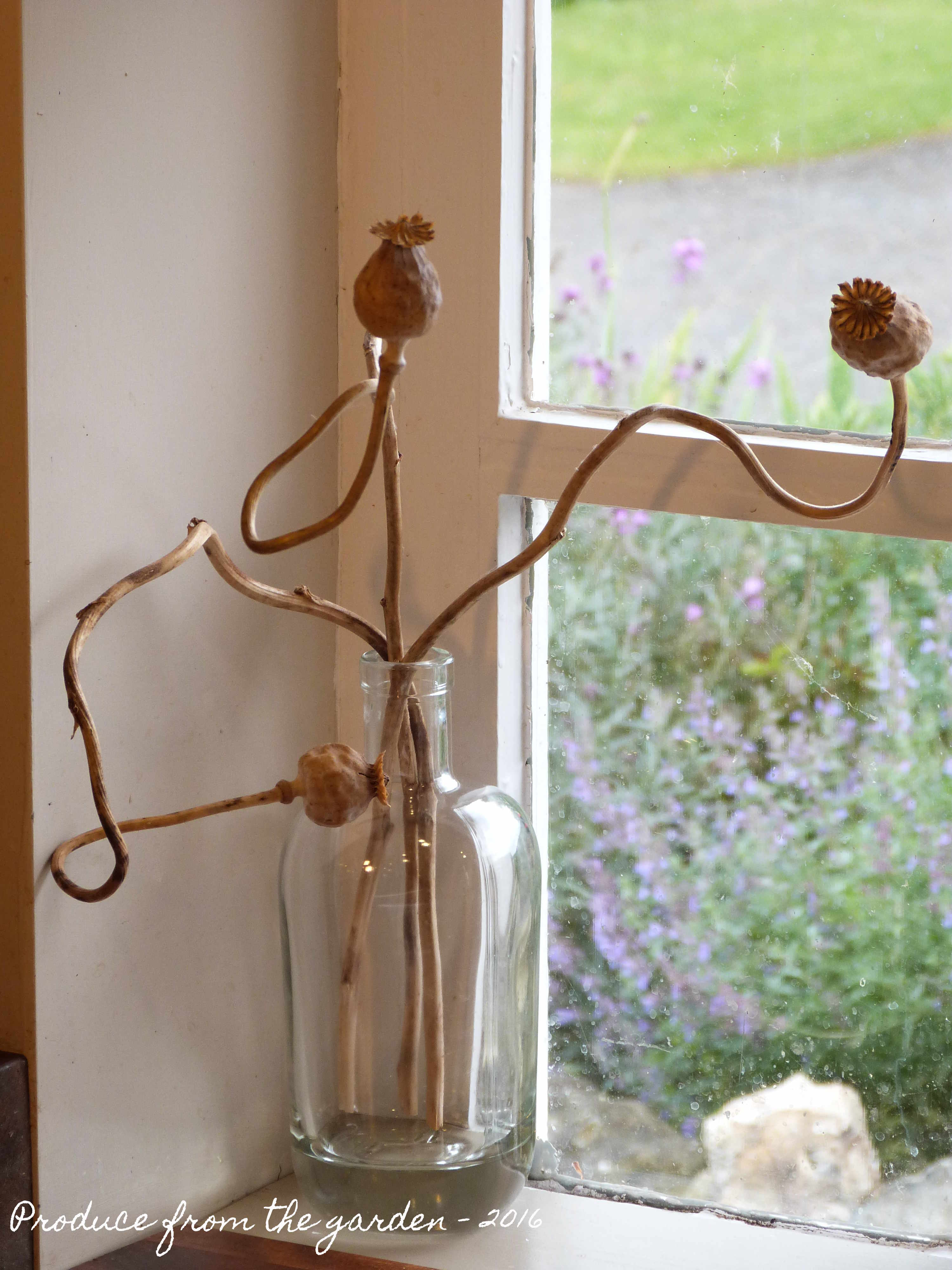 Drying Poppy Seed Heads Produce From The Garden