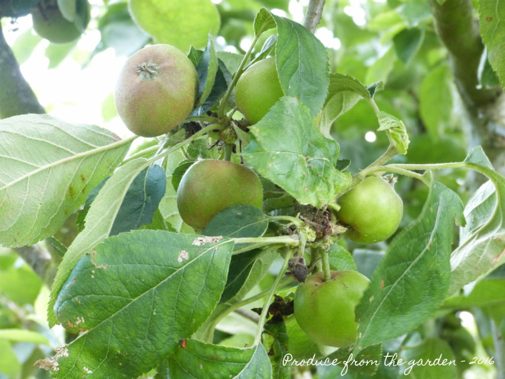 Apples after thinning