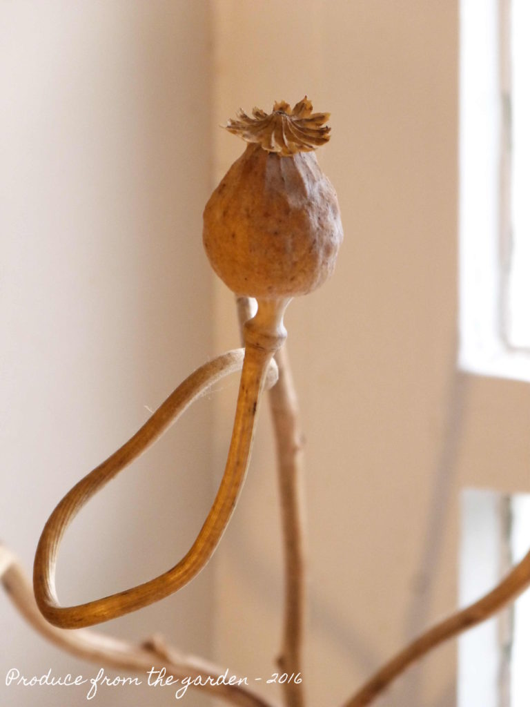 Dried poppy seed head