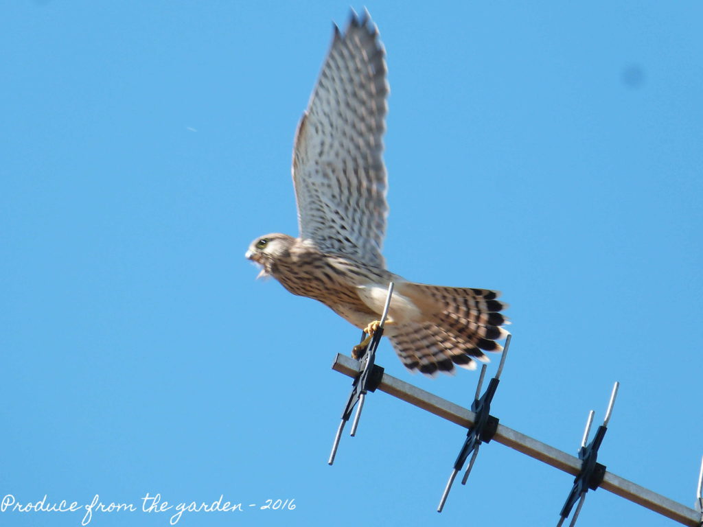 Kestrel leaving us