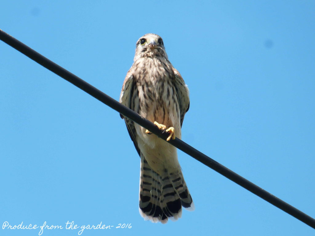 Kestrel on telegrapg wire