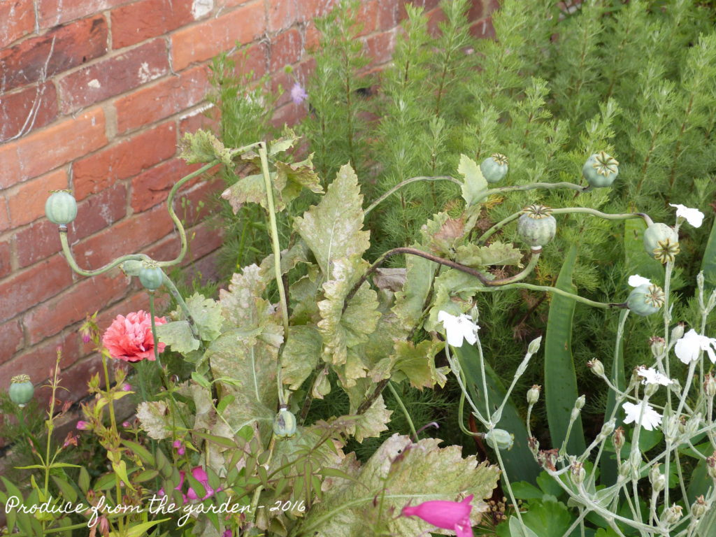 Opium poppy when over