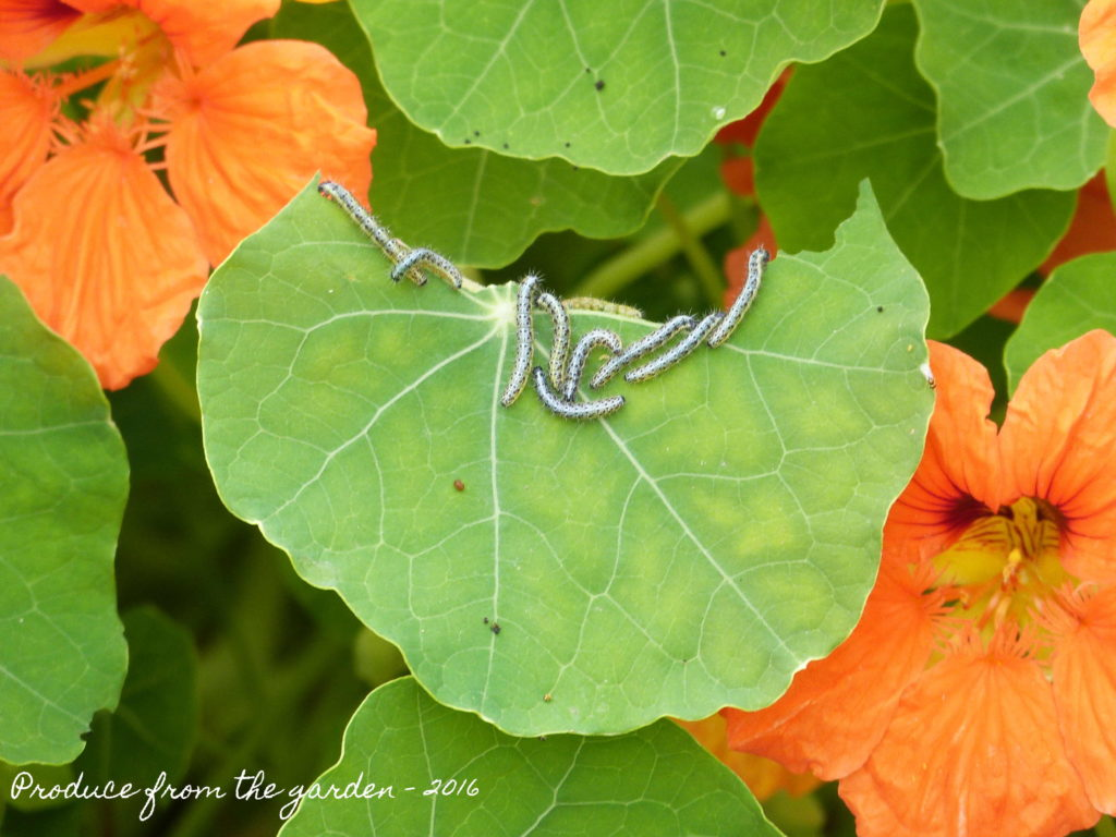 Cabbage White caterpillars on nasturtiums