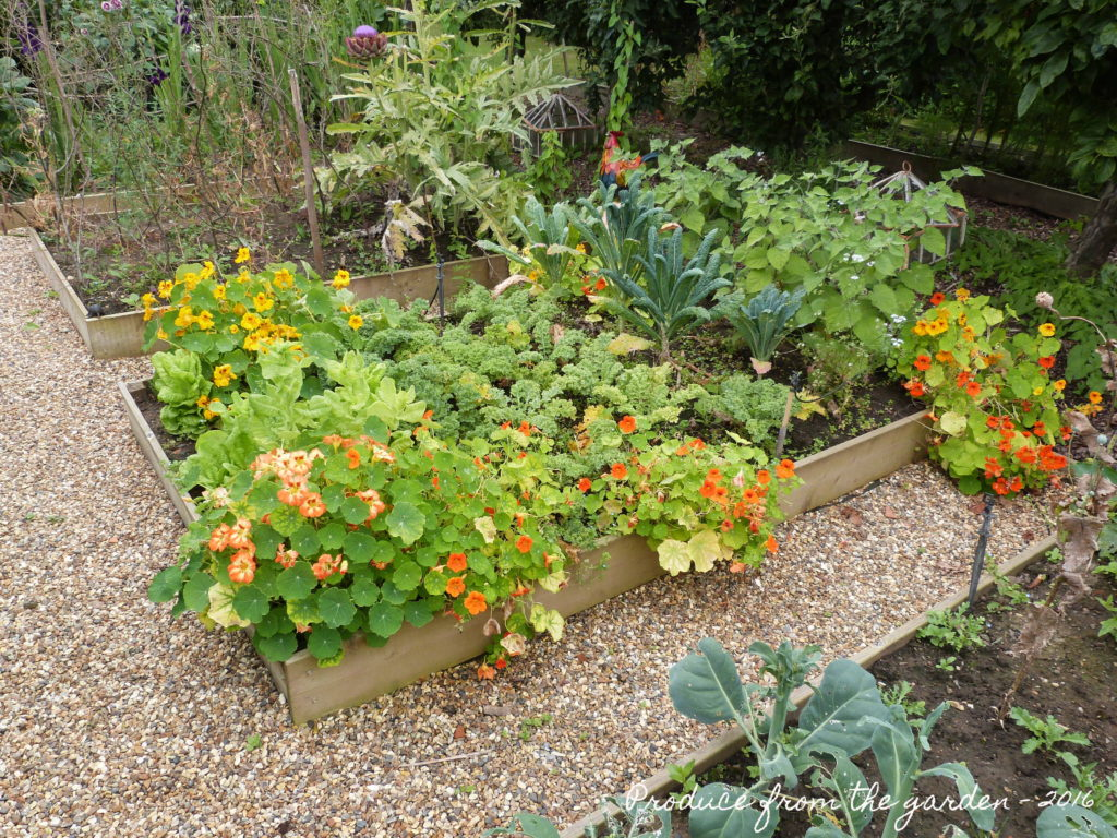 Nasturtiums in the vegetable patch