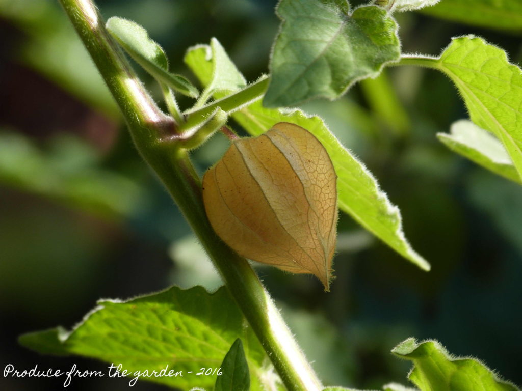 cape-gooseberry-physalis-growing