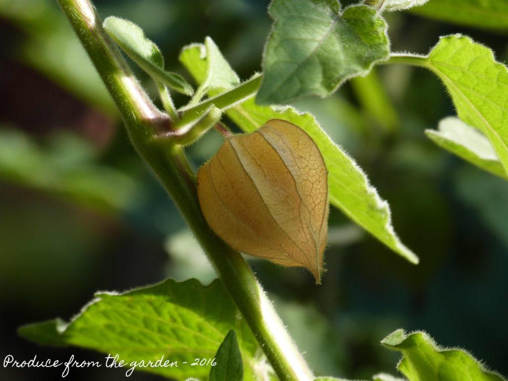 cape-gooseberry-physalis-growing