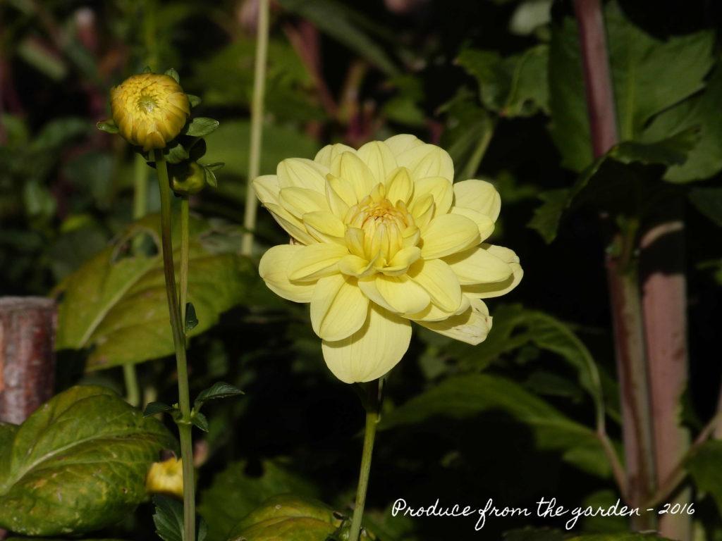 dahlia-light-yellow