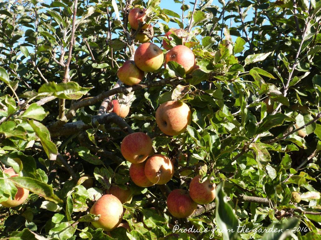 delicious-apples