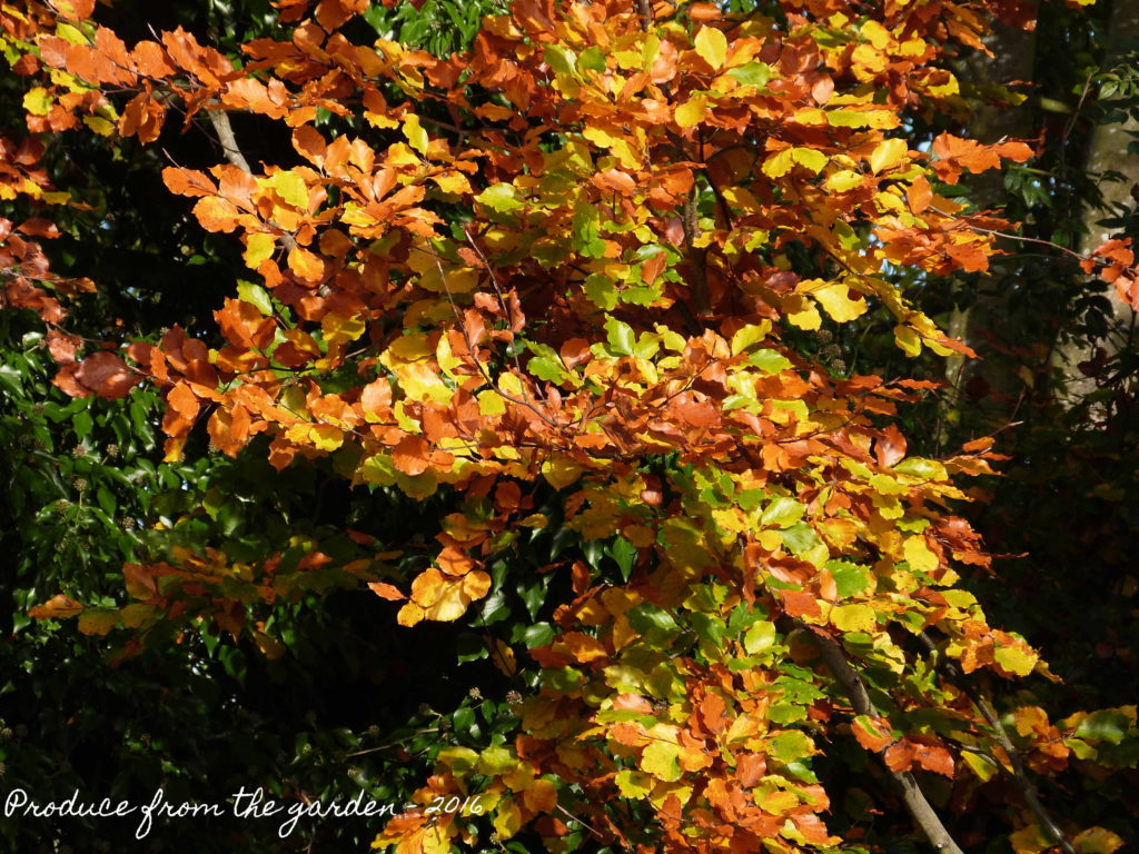 autumn-copper-beech-leaves