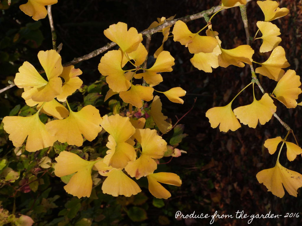 ginkgo-tree-autumn-leaves