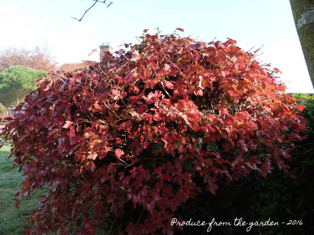 viburnum-opulus-autumn-leaves