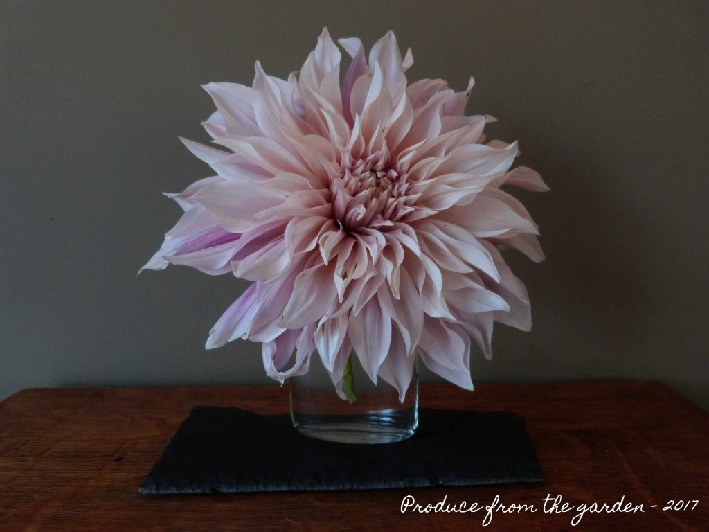 Dahlia Cafe au Lait in a vase