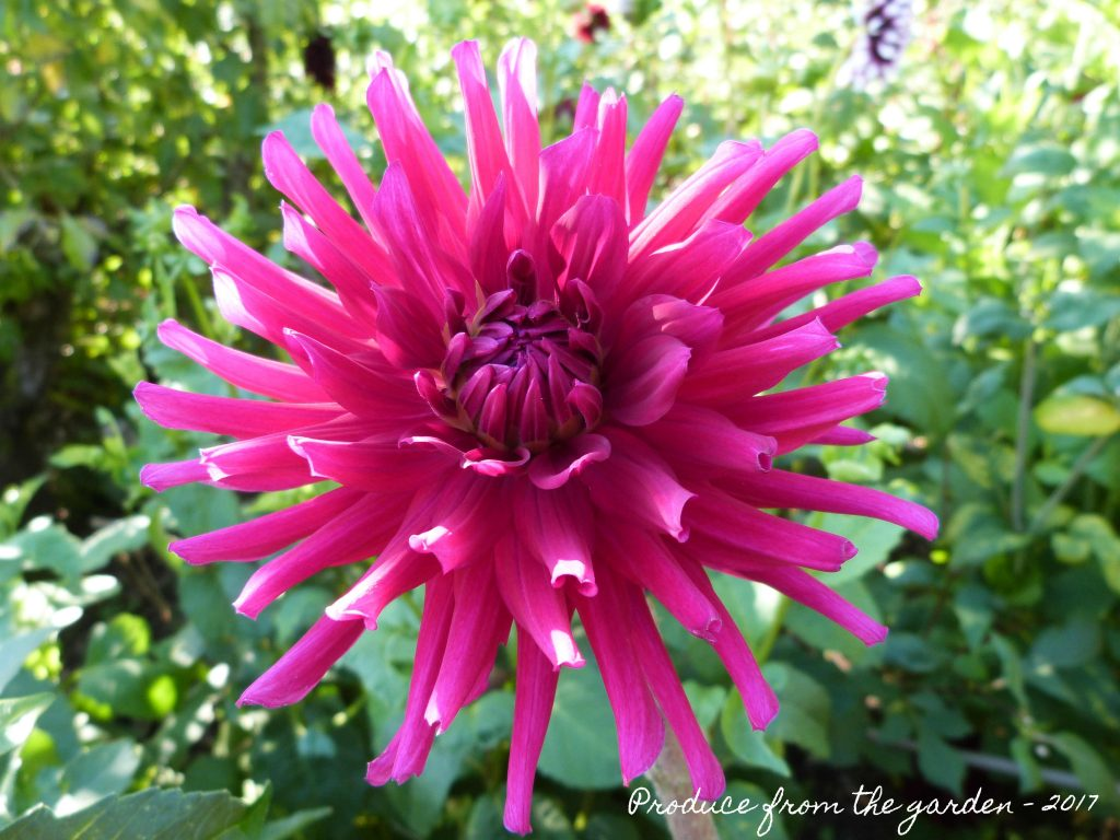 Dahlia Hillcrest Royal
