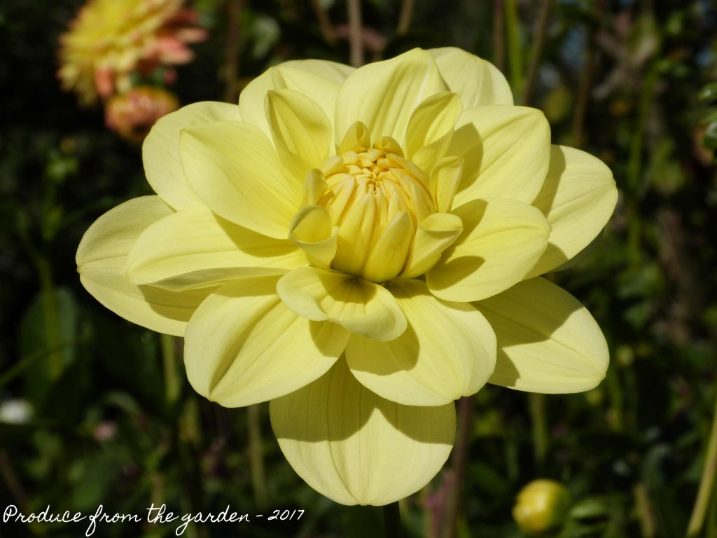 Dahlia Possible Glorie van heemstede