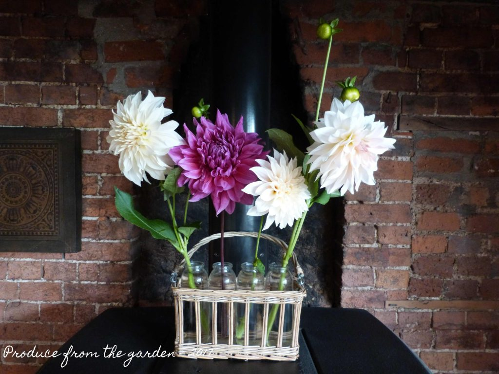 Dahlias cut flowers