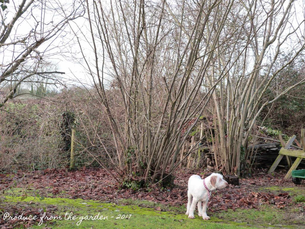 Hazel before coppicing