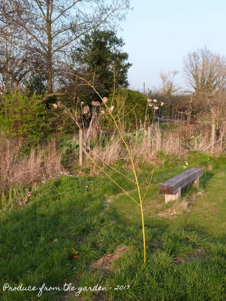 New willow planted