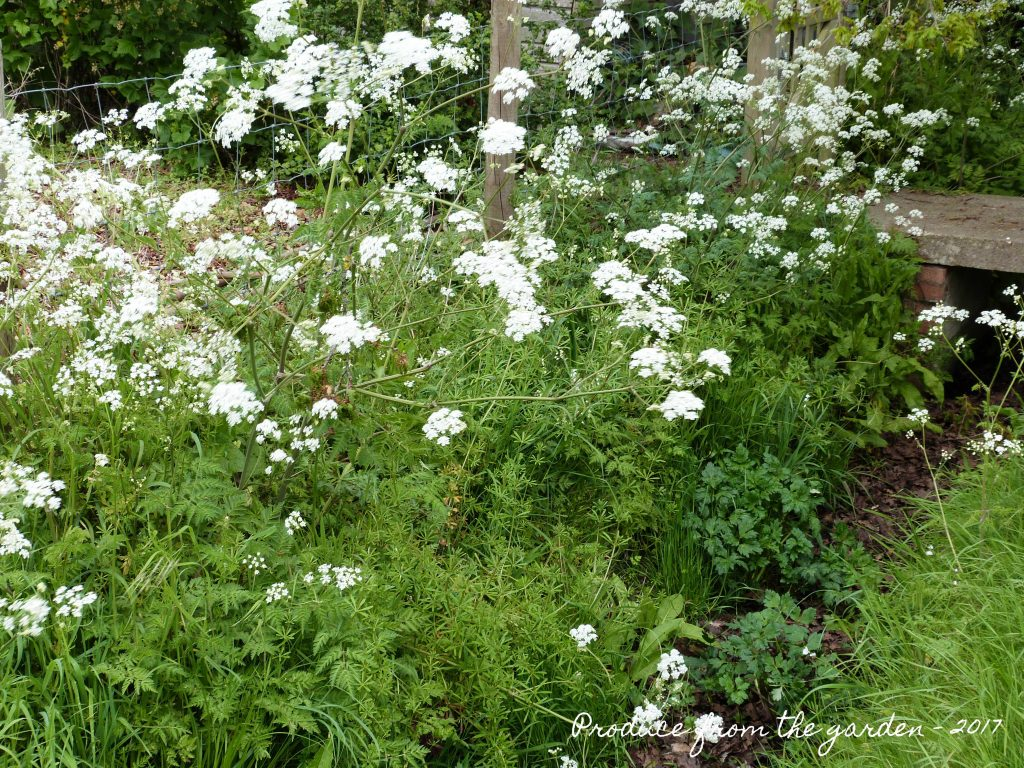 Cow Parsley flowering in the ditch