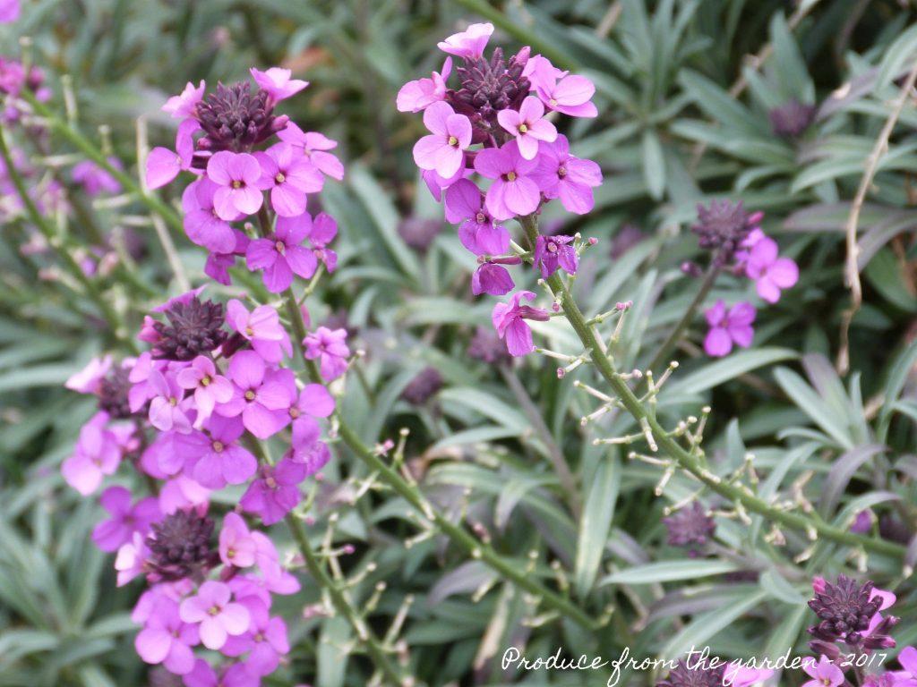 Erysimum (Wallflower) 'Bowles's Mauve'