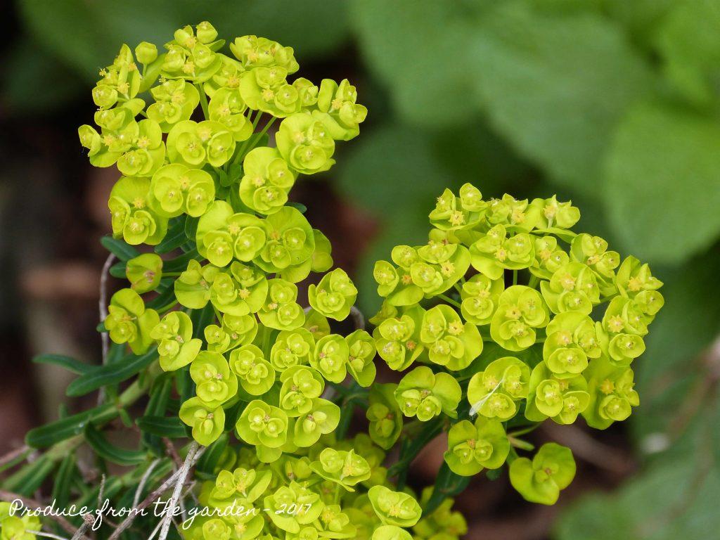 Miniture Euphorbia