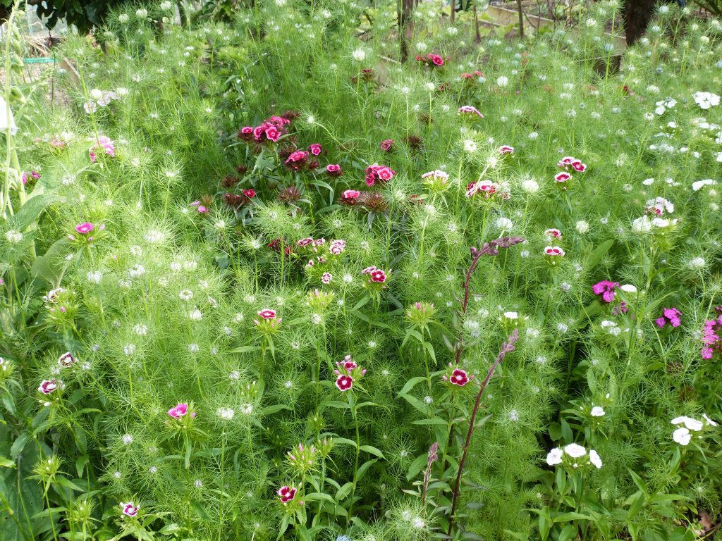 Nigella and sweet william