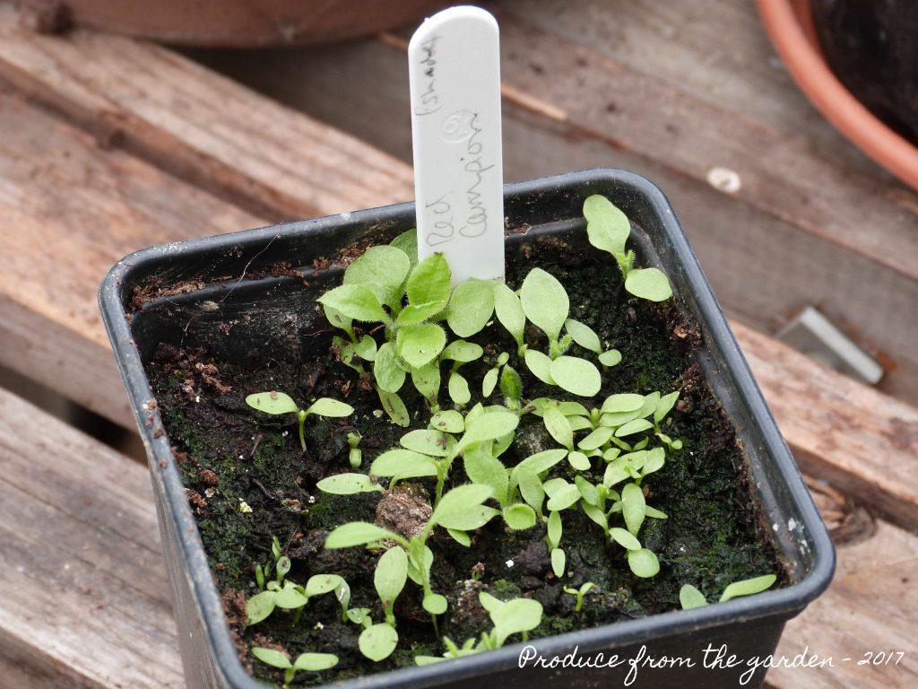 Red Campion Seedlings