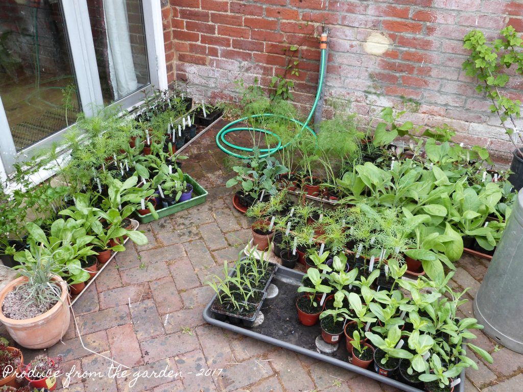 Seedlings for the cut flower beds