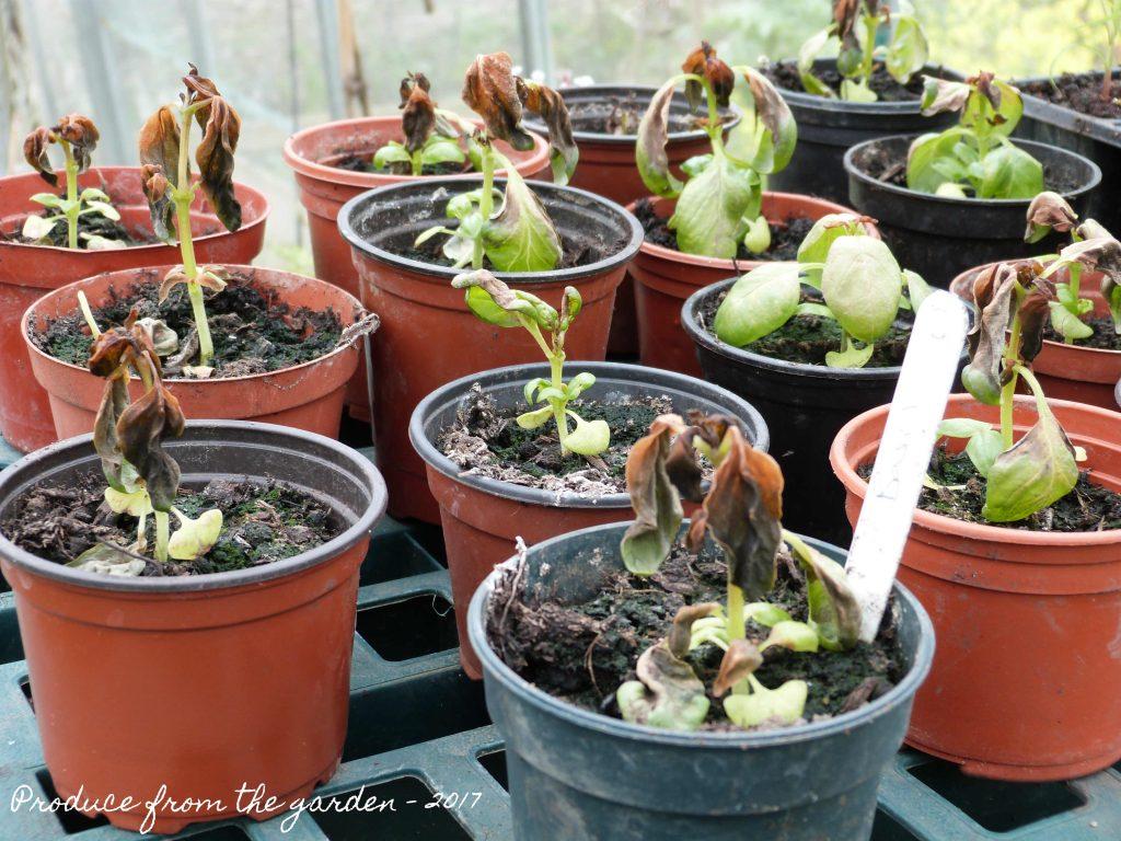 Spring frost damaged basil