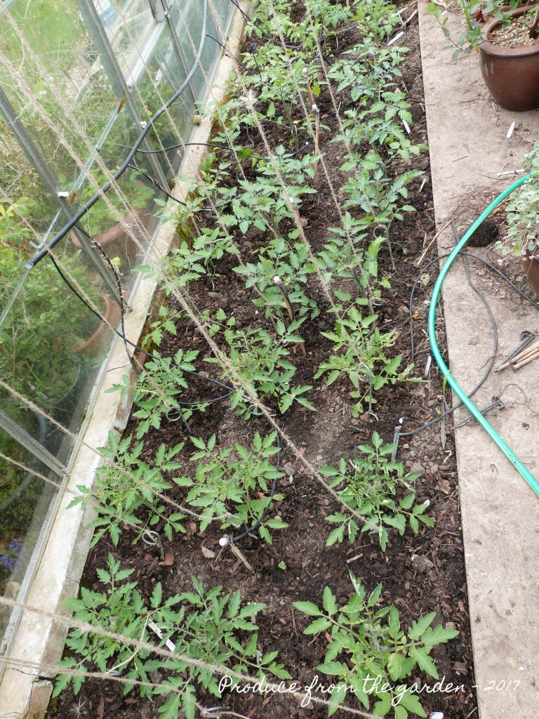 Tomatoes planted up in the greenhouse