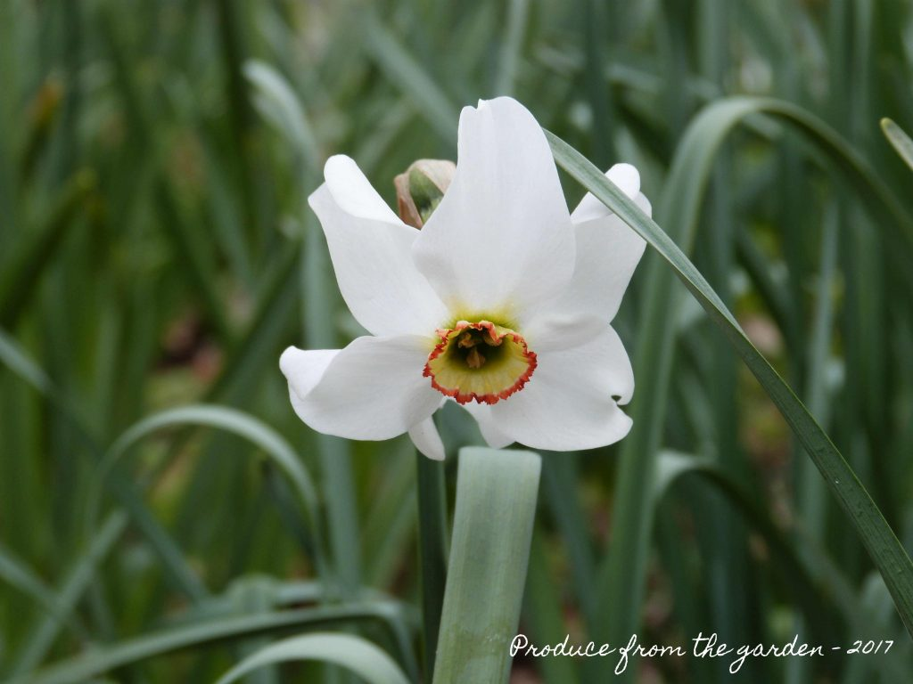 narcissus pheasant eye