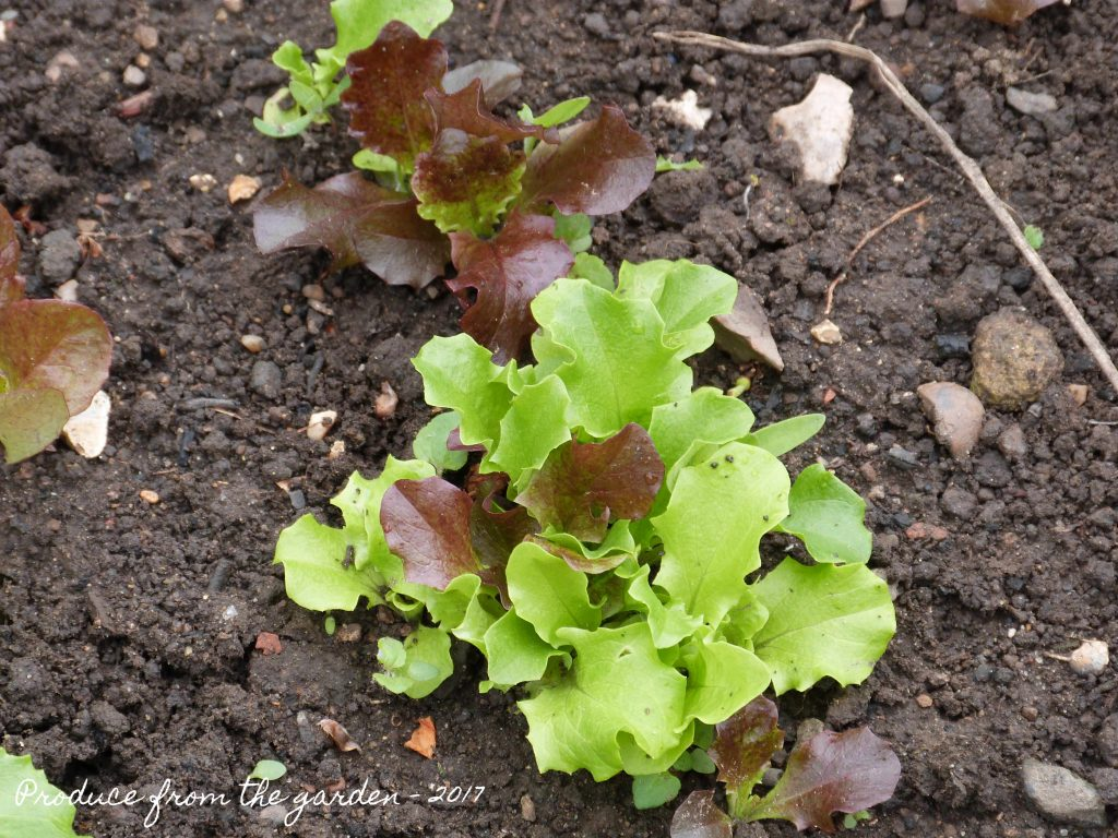 the first batch of salad leaves for the year