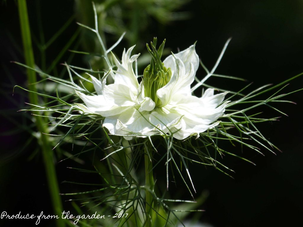 White Nigella