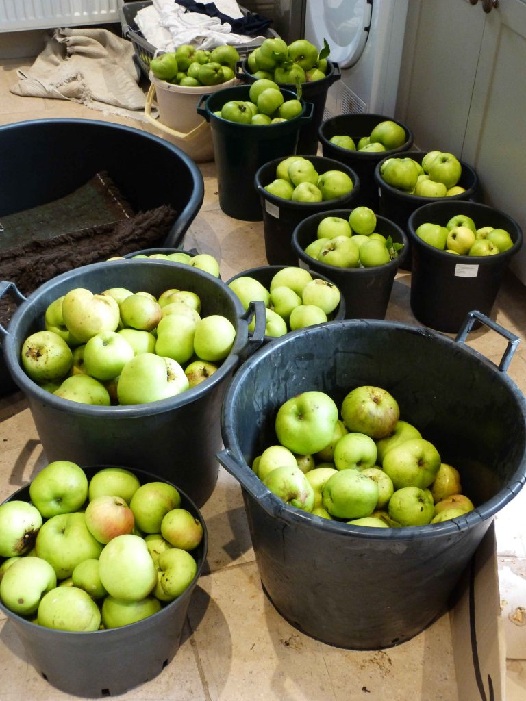Cooking apple harvest