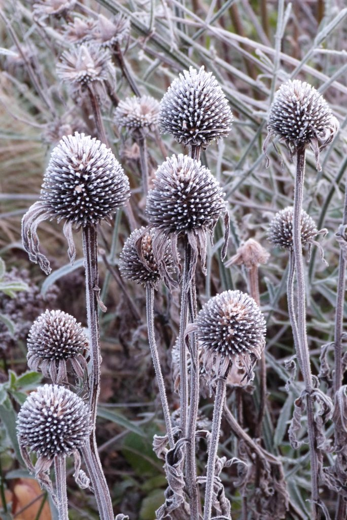 frost echinacea seed heads