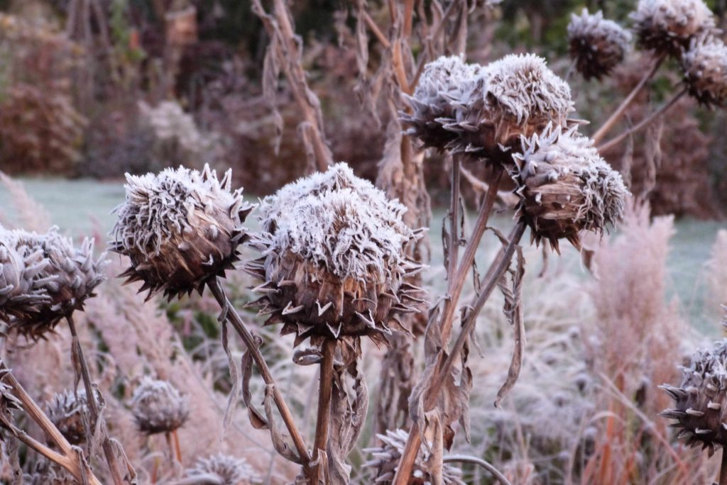 frosted cardoon heads