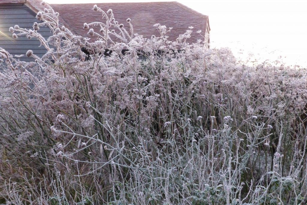 frosted seed heads